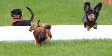 Stella (right) racing at a Missouri Earthdogs event. Photo by Bettina Woolbright.