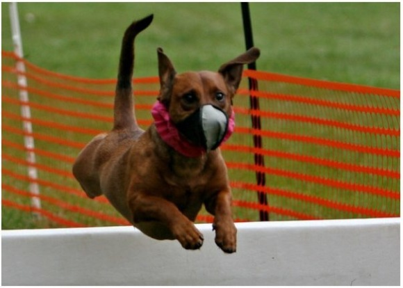 Rufus in his racing days, at a Missouri Earthdogs event. Photo by Bettina Woolbright.